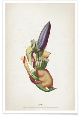 Musae Spadix - Ehret -Poster