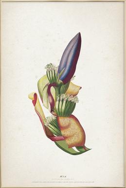 Musae Spadix - Ehret -Poster im Alurahmen