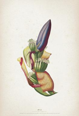 Musae Spadix - Ehret Acrylic Print