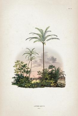 Astrocaryum Vulgare - Martius -Alubild