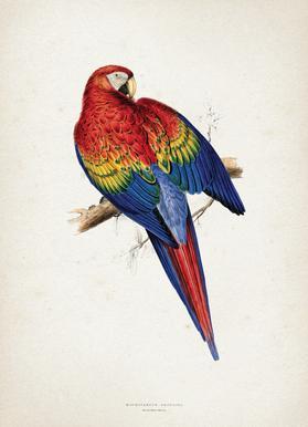 Macrocercus Aracanga - Lear