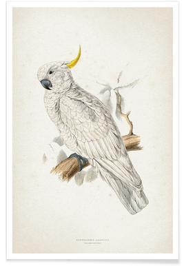 Plyctolophus Galeritus - Lear