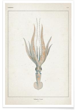 Loligopsis Veranii - Vérany -Poster