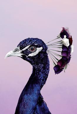 Purplish Peacock Impression sur alu-Dibond