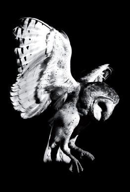 Barn Owl acrylglas print