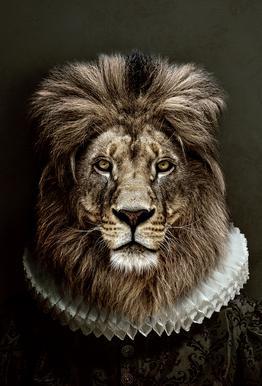Classy Lion acrylglas print