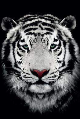 Dark Bengal Tiger acrylglas print