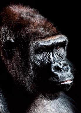 Dark Gorilla canvas doek