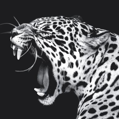 Roaring Jaguar acrylglas print