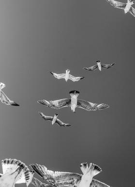 Soaring Birds Canvas Print