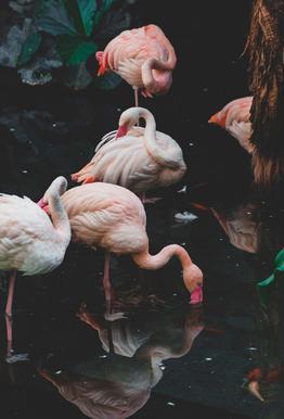 Pink Flamingos Aluminium Print