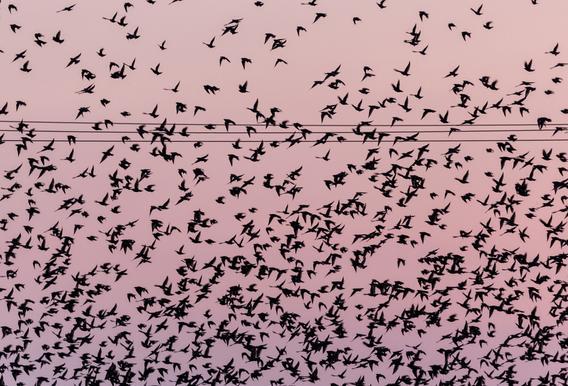 Chaos in Bird Migration by @matthcon01 -Acrylglasbild