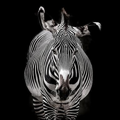 Hello Zebra by Lothare Dambreville