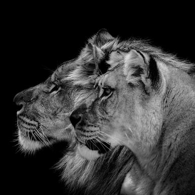 Lion Duo Profile by Lothare Dambreville canvas doek