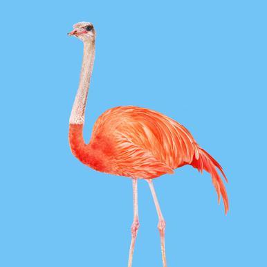 Flamingostrauss Acrylic Print