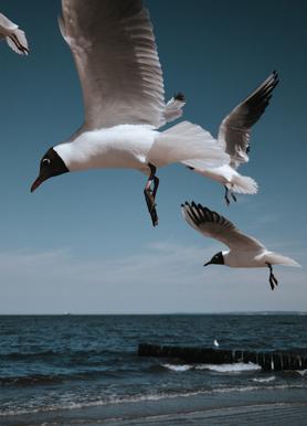 Seagulls VIII Lærredstryk