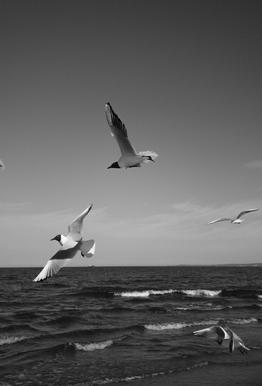 Seagulls III Aluminium Print