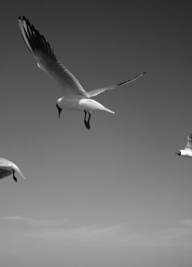 Seagulls V Canvas Print