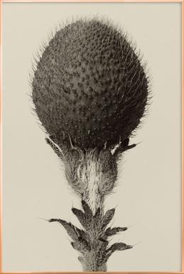 Thorned Bulbous Plant - Karl Blossfeldt