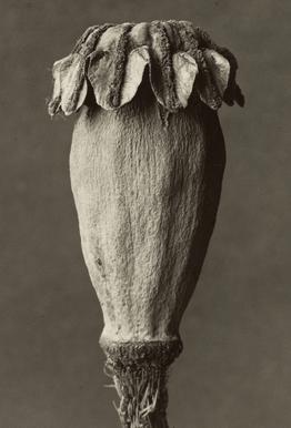 Papaver Orientalis, 1928 - 1932 - Karl Blossfeldt,