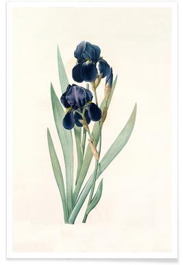 Iris germanica, German flag, -Pierre Joseph -Poster