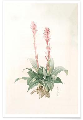 Neottia speciosa -Pierre Joseph Poster