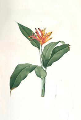 Heliconia psittacorum, Parrot Flower -Pierre Joseph -Acrylglasbild