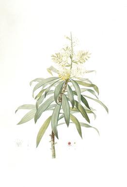 Dracoena reflexa, Song of India, Pleomele or Maylasian draceana, -Pierre Joseph -Acrylglasbild