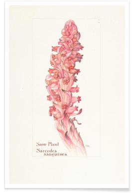 Snow Plant, Sarcodes Sanguinea, 1909 - Margaret Neilson Armstrong -Poster