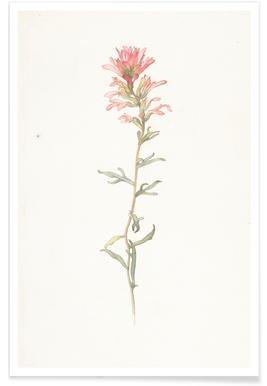 Northwest Indian Paintbrush Castilleja Angustifolia - Margaret Neilson Armstrong
