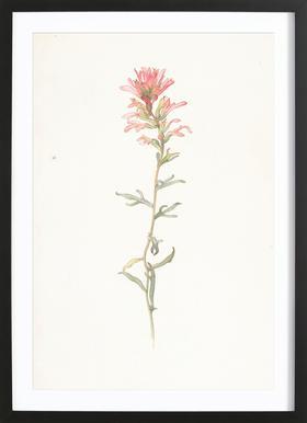 Northwest Indian Paintbrush Castilleja Angustifolia - Margaret Neilson Armstrong -Bild mit Holzrahmen