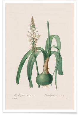 Ornithogalum Longibracteatum, 1802-1816 -Henry Joseph Redouté Poster