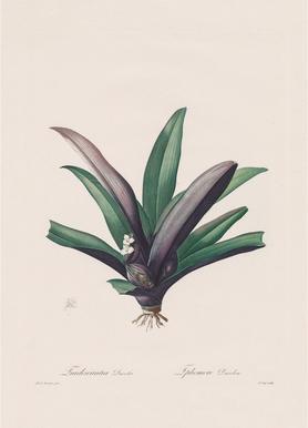 Tradescantia Discolour, 1802-1816 - Henry Joseph Redouté -Leinwandbild