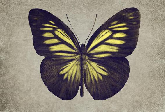 Papillon (yellow) Aluminium Print