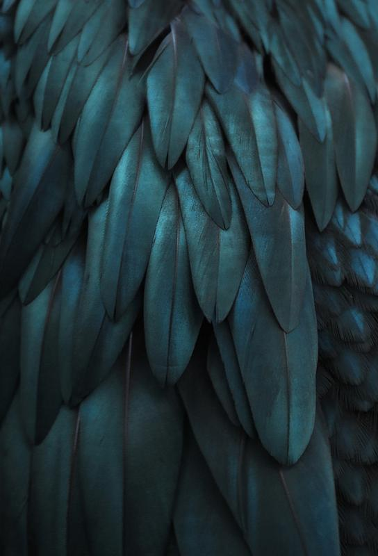 dark feathers as aluminium print by monika strigel juniqe uk
