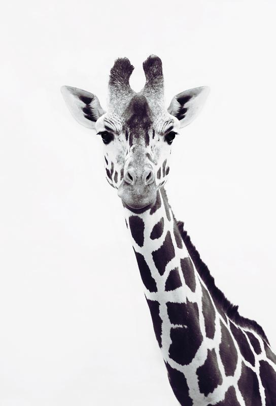 Giraffe as acrylic glass print by monika strigel juniqe uk