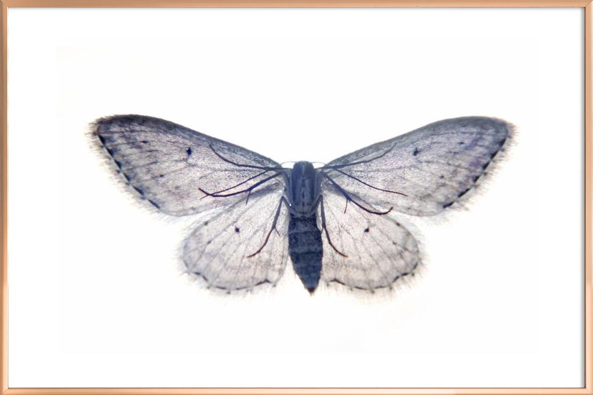 Butterfly in Blue as Poster in Aluminium Frame by cafelab | JUNIQE UK