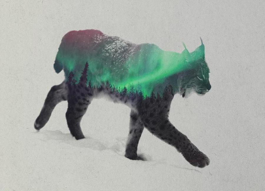 Lynx Leinwandbild