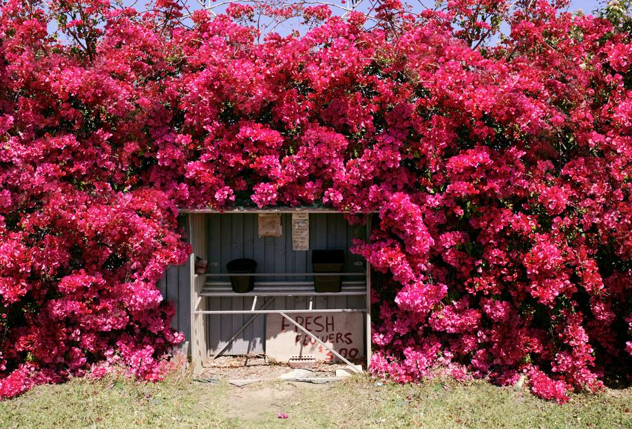bougainvillea als acrylglasbild von julian wolkenstein juniqe. Black Bedroom Furniture Sets. Home Design Ideas