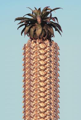 Pineapple alu dibond