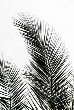 Palm Leaves 1 -Alubild