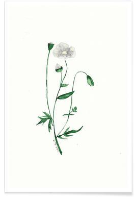 Weiße Mohnblume Affiche