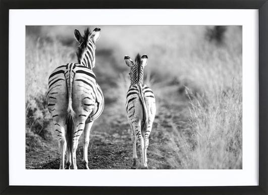Zebra family shot by clint poster in wooden frame