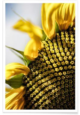 Sunflower Affiche