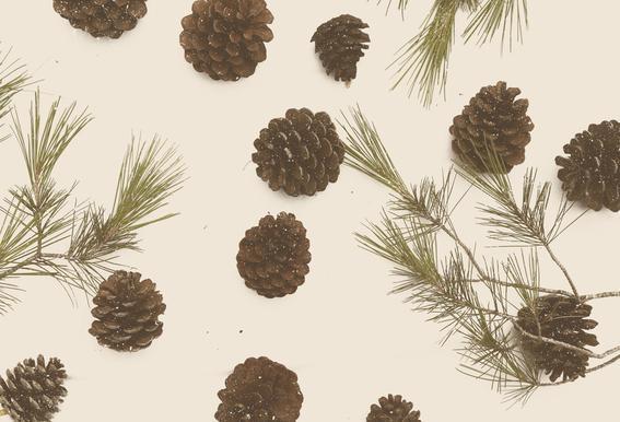 Merry Christmas Pinecones Acrylic Print