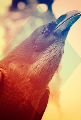 Crow acrylglas print