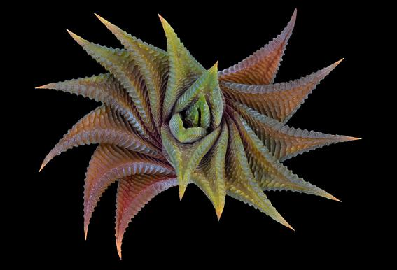 Haworthia Limifolia - Victor Mozqueda acrylglas print