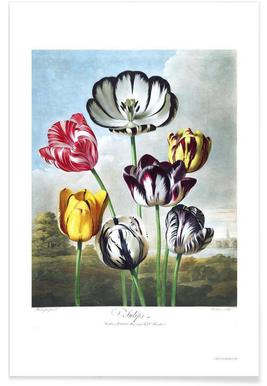 Tulips from the The Temple of Flora Poster