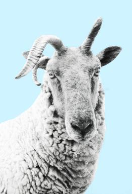 Blue Sheep tableau en verre