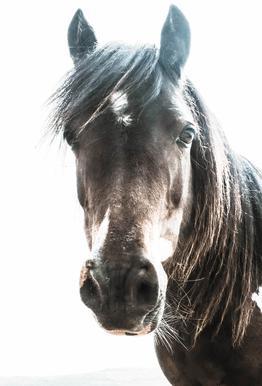 Horse Impression sur alu-Dibond